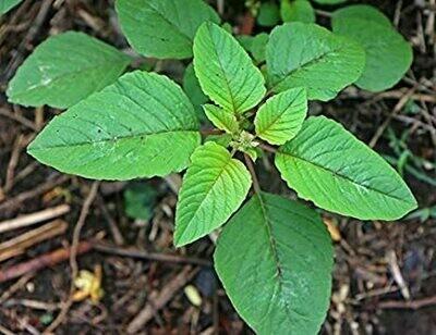 Amaranth (Thotakura) Seeds (10 Seeds)