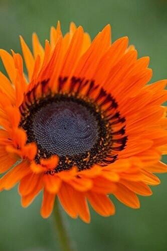 Venidium Orange Seeds (10 seeds)