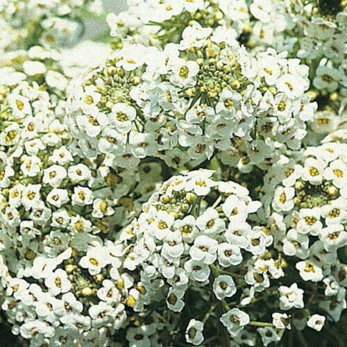 Alyssum Snow White Seeds (50 seeds)