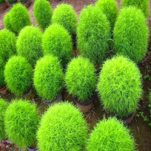 Kochia Seeds (20 seeds)