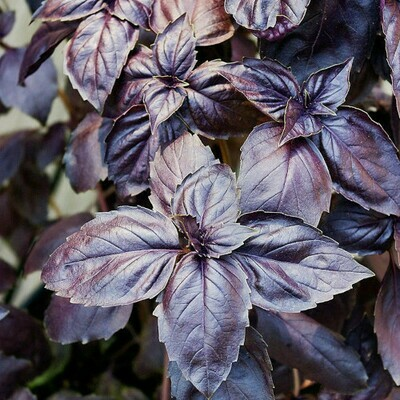 Basil Black (20 seeds)