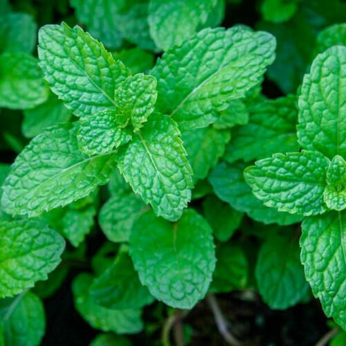 Mint Seeds(30 Seeds)