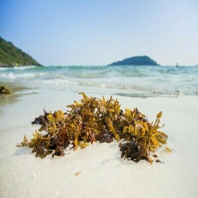 Magic Sea Weed Organic Fertilizer (20gms)