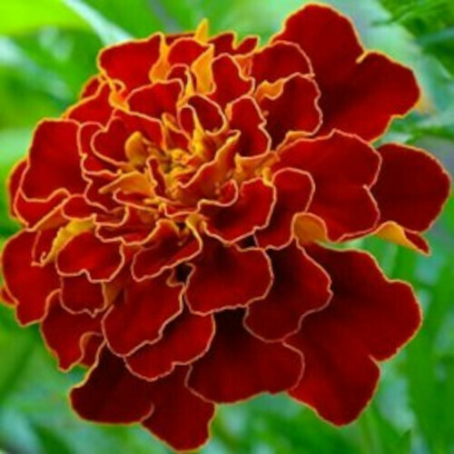 Marigold French Scarlet Red Seeds (10 seeds)