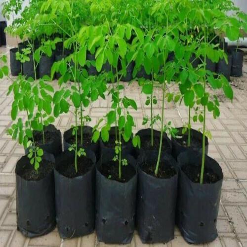 Moringa Seeds (Drumsticks) (3 seeds)
