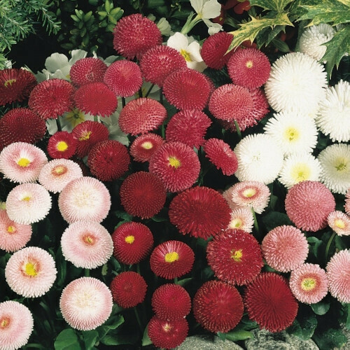 Bellis Monstrosa Double Mix Seeds (30 seeds)