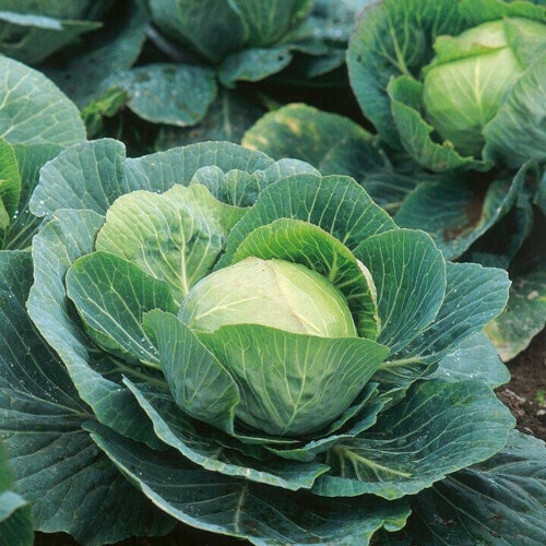 Cabbage Seeds (10 seeds)