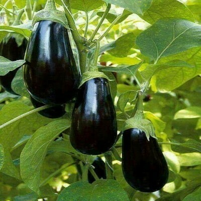 Brinjal Seeds (10 seeds)