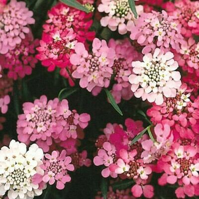 Candytuft Seeds (10 seeds)