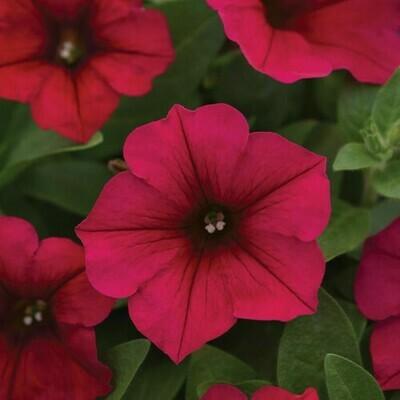 Petunia Mixed Seeds (30 seeds)