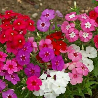 Phlox Mixed Seeds (10 seeds)