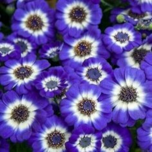 Cineraria Mix Seeds (10 seeds)