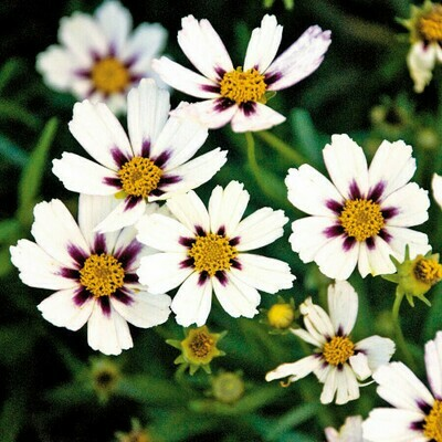 Coreopsis Beauty Star Mix Seeds (10 seeds)