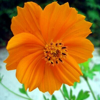 Cosmos Orange Seeds (10 seeds)