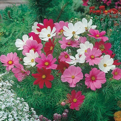 Cosmos Mixed Sensation Seeds (10 seeds)