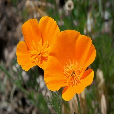 Poppy California Seeds (10 seeds)