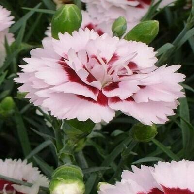 Dianthus Splendor Seeds (20 seeds)