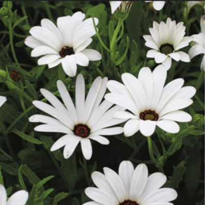 Dimorphotheca Seeds (5 seeds)