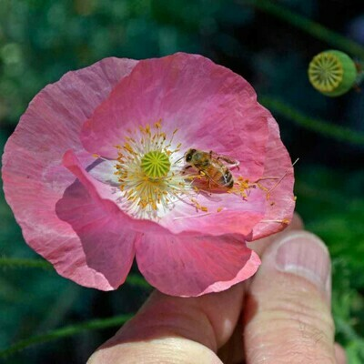 Poppy Double Mix Seeds (30 seeds)
