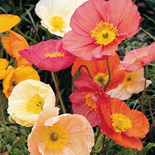 Poppy Iceland Mix Seeds (30 seeds)