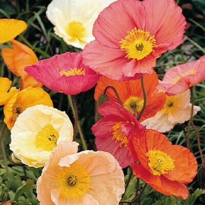 Poppy Iceland Mix Seeds (30 seeds)