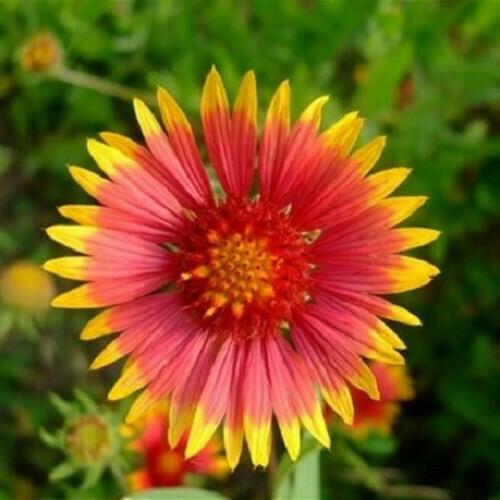 Gaillardia Seeds (10 seeds)