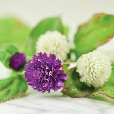 Gomphrena Mixed Seeds (10 seeds)