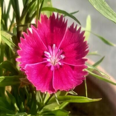 Sweet William Seeds (10 seeds)