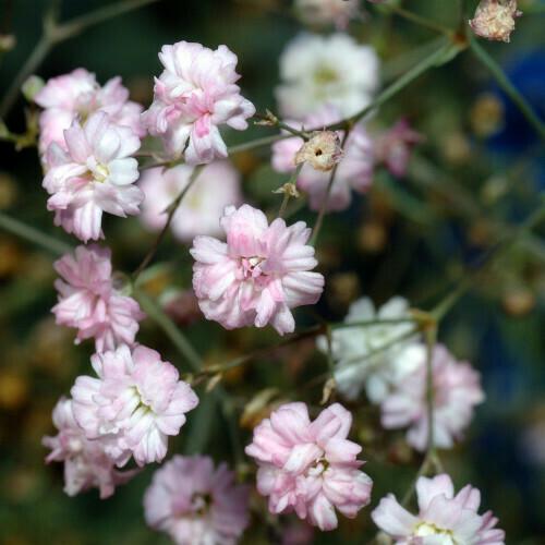 Gypsophilia Seeds (10 seeds)