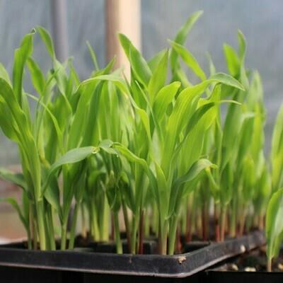 Sweet Corn Seeds (4 seeds)