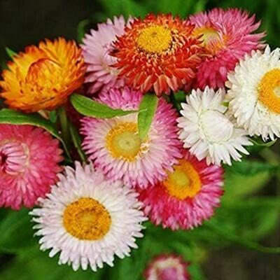 Helichrysum Seeds (10 seeds)
