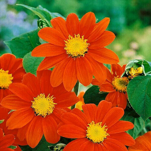Tithonia Seeds (10 seeds)