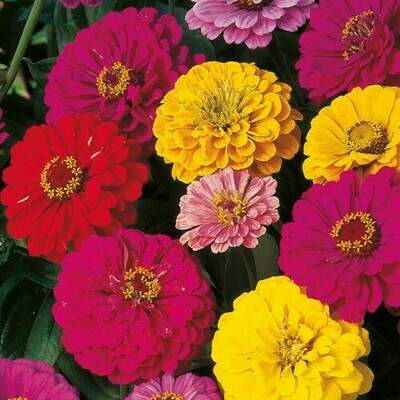 Zinnia Double Mix Seeds (6 seeds)