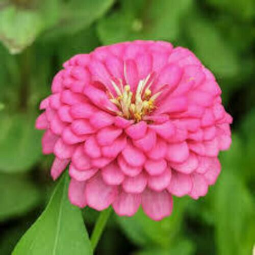 Zinnia Pink Seeds (6 seeds)