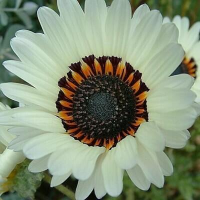 Venidium White Seeds (10 seeds)