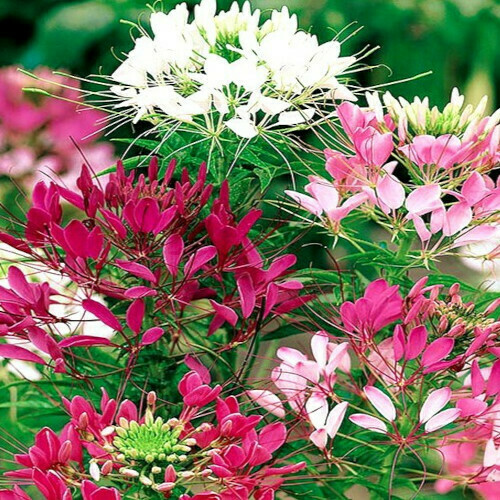 Cleome Spinosa Seeds (10 seeds)