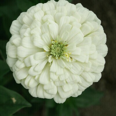 Zinnia White Seeds (6 seeds)
