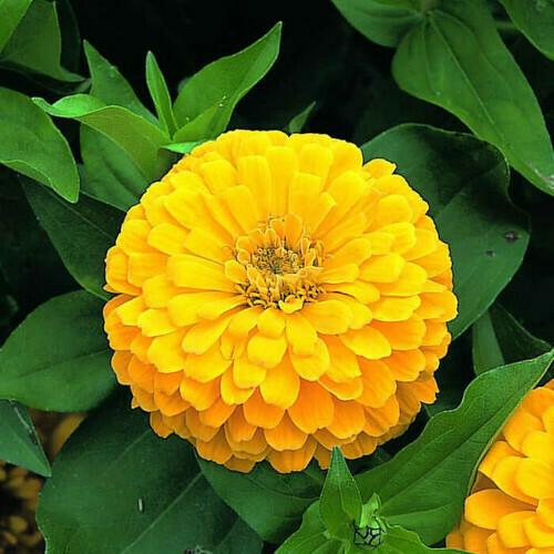 Zinnia Yellow Seeds (6 seeds)