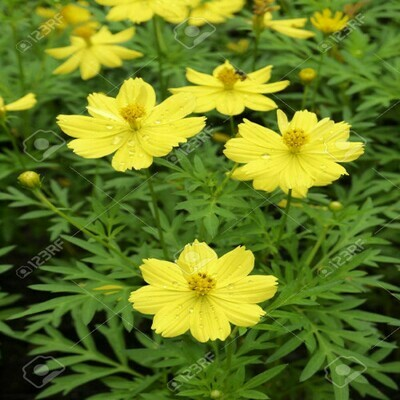 Cosmos Yellow Seeds (10 seeds)