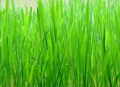 Wheat Grass Seeds (10 gms)