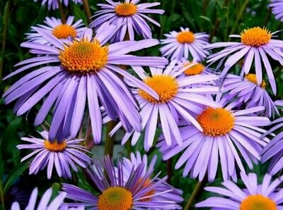Aster Mixed Seeds (10 Seeds)