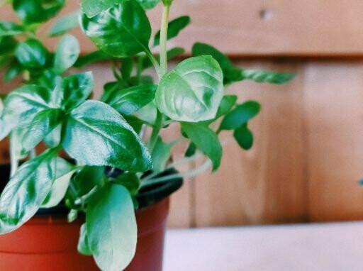 Basil Green Seeds (20 seeds)