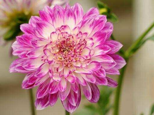 Chrysanthemum Mixed Seeds (10 seeds)