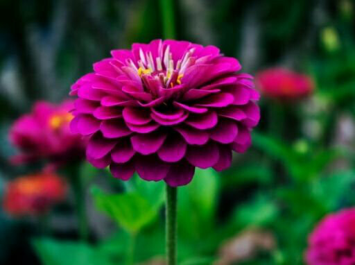 Dahlia Mixed Seeds (5 seeds)