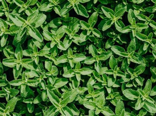 Oregano Seeds (30 seeds)