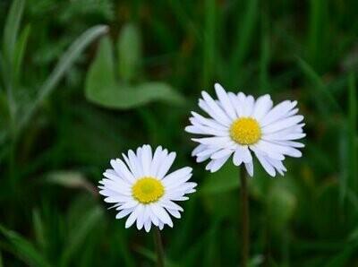 Daisy Mixed Seeds (30 seeds)