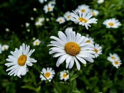 German Chamomile Seeds (30 seeds)