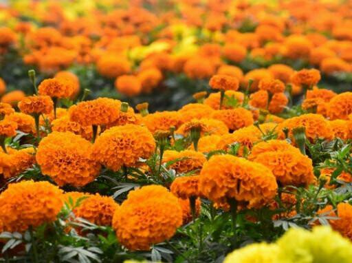 French Orange Marigold Seeds (10 seeds)