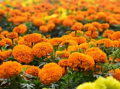French Orange Marigold Seeds (10 seeds)