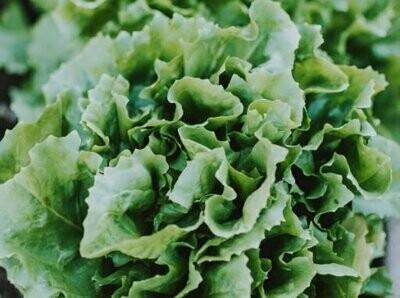 Lettuce Seeds (10 seeds)